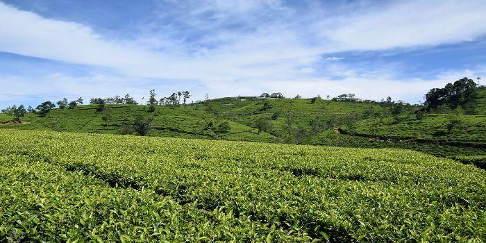 Bild von einer Teeplantage mit einem blauem Himmel im Hintergrund