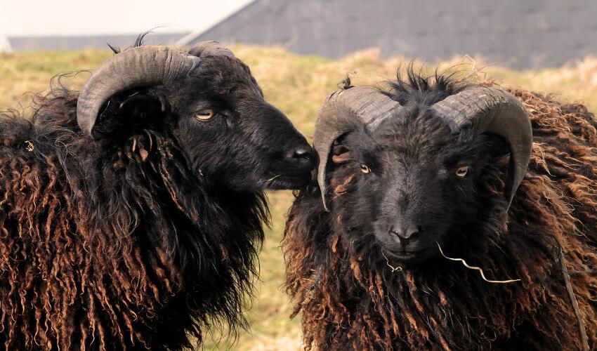 Zwei Ouessant Schafe.