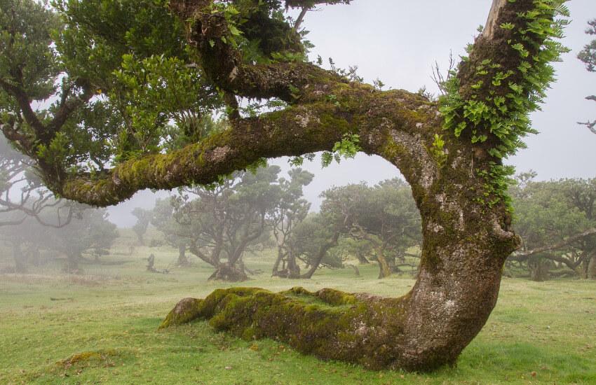 Sehr alte wild gewachsene Lorbeerbäume.