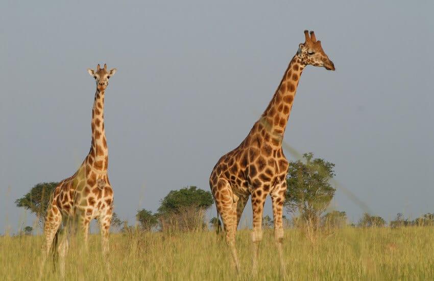 Zwei Giraffen in einer mit Gras bewachsenen Savanne in Uganda.