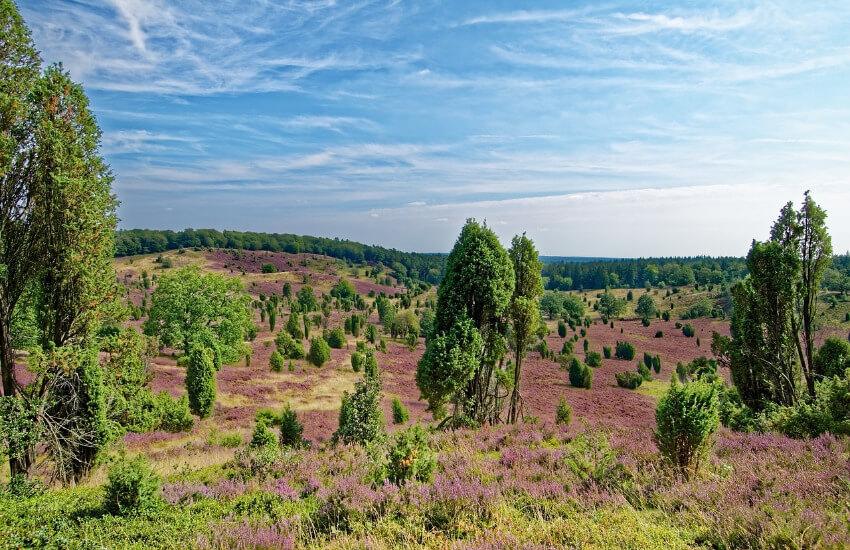 Bäume und Sträucher stehen einzeln und verteilt, soweit das Auge reicht, dazwischen Gräser und lila Heideblüte.